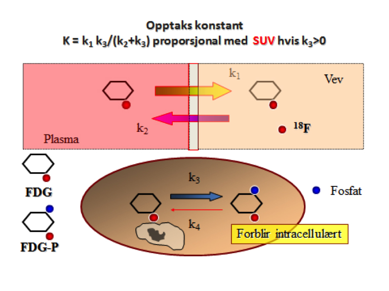 Figur 4: To-kompartment modell for opptak av FDG. Opptaks konstanten er den ensrettede hastighets konstant som omfatter både netto inn transport og «trapping» av tracer. Den er proporsjonal med SUV hvis k3 > 0