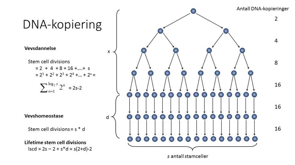 Figur 2: Antall DNA-kopier laget under vevsdannende og vevshomeostatisk fase. Hver figur i pilen representerer én DNA-replikasjon. Antall DNA-replikasjoner under vevsdannende fase kan enkelt beregnes hvis en kjenner antall stamceller i det endelige vevet (s). Antall DNA-replikasjoner under vevshomeostatisk fase vil være lik antall stamceller multiplisert med antall delinger per celle per livstid. Summen av antall stamcelledelinger fra vevsdannende og vevshomeostatisk fase vil være lscd = s(2+d)-2.