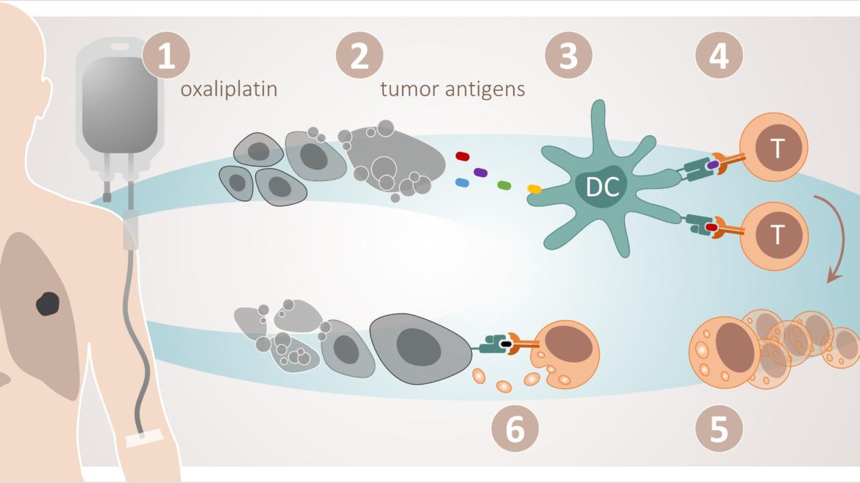 Figur 1. Immunogen celledød. Cytotoksisk celleskade gjennom til dømes oxaliplatin (1) fører til utslepp av tumorantigen frå døyande tumorceller (2). Desse antigena blir tekne opp av dendrittiske celler (3) og presenterte for cytotoksiske T-celler (4), som blir aktiverte. Dette resulterer i klonal proliferasjon av aktuelle T-cellepopulasjonar (5), som i prinsippet kan gå til åtak på systemiske tumormanifestasjonar (6).