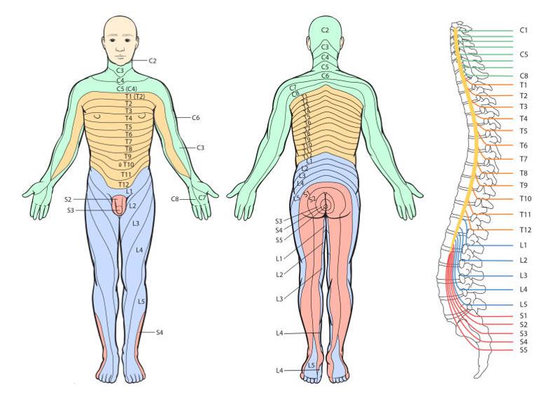 Figur 5: Dermatomer