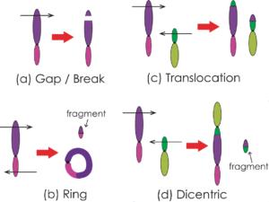 """Figur 2: Illustrasjon av de 4 vanligste stråleindusert kromosomaberrasjoner og deres dannelsesmekanismer. (a): brudd i en arm. Gap defineres som en akromatiske lesjon med smalere bredde enn kromatidet. Brudd defineres ved aksedeviasjon eller tydelig dislokasjon. (b): to brudd, et på hver side av centromeren. Bruddendene kan rekombinere og danne en ring og et fragment. (c) - (d): To brudd dannes, ett i hvert kromatid på to kromosomer. Translokasjon (c) dannes ved rekombinasjon av proksimale ender med centromer og asentrisk fragment. Disentrisk (d) dannes ved rekombinasjon av proksimale ender med centromer, med tillegg av et fritt fragment. (c) og (d) klassifiseres som """"exchange""""(Wikipedia)."""